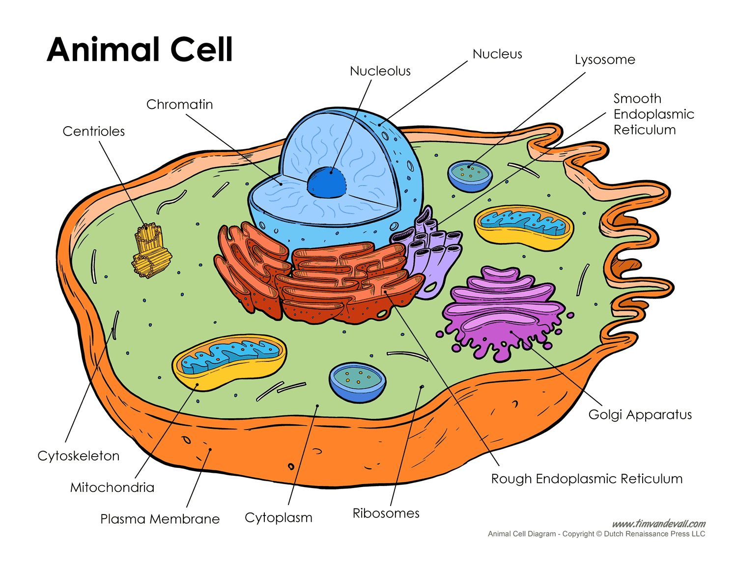 Wondrous Printable Labeled And Unlabeled Animal Cell Diagrams With List Of Wiring Cloud Faunaidewilluminateatxorg