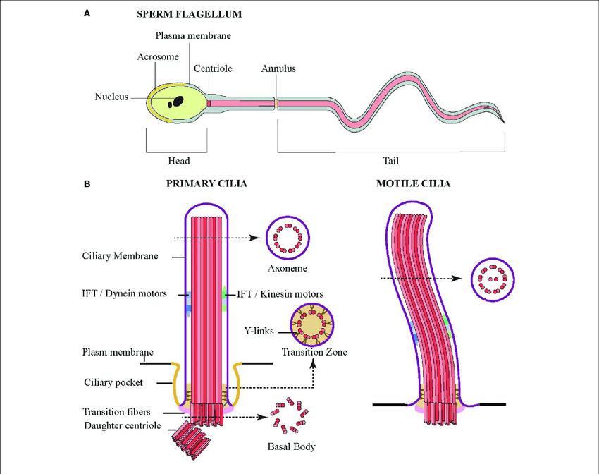 Dc 3592  Diagram Of Cilia Free Diagram