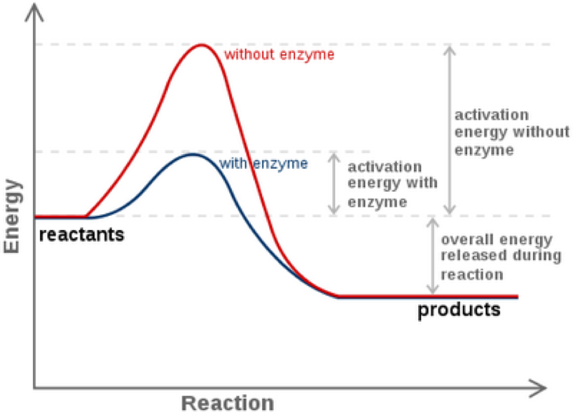 Enjoyable Enzymes And Reaction Rates Wiring Cloud Licukosporaidewilluminateatxorg