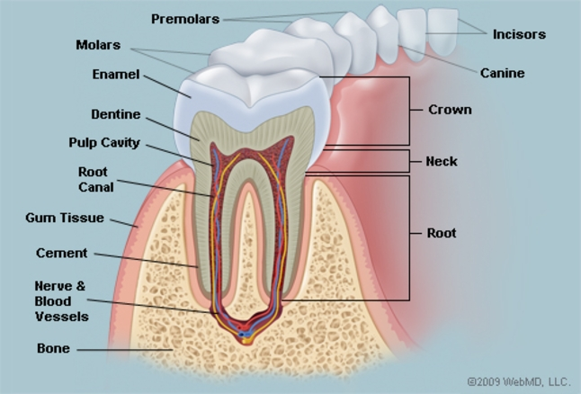 Pleasant The Teeth Human Anatomy Diagram Names Number And Conditions Wiring Cloud Onicaalyptbenolwigegmohammedshrineorg
