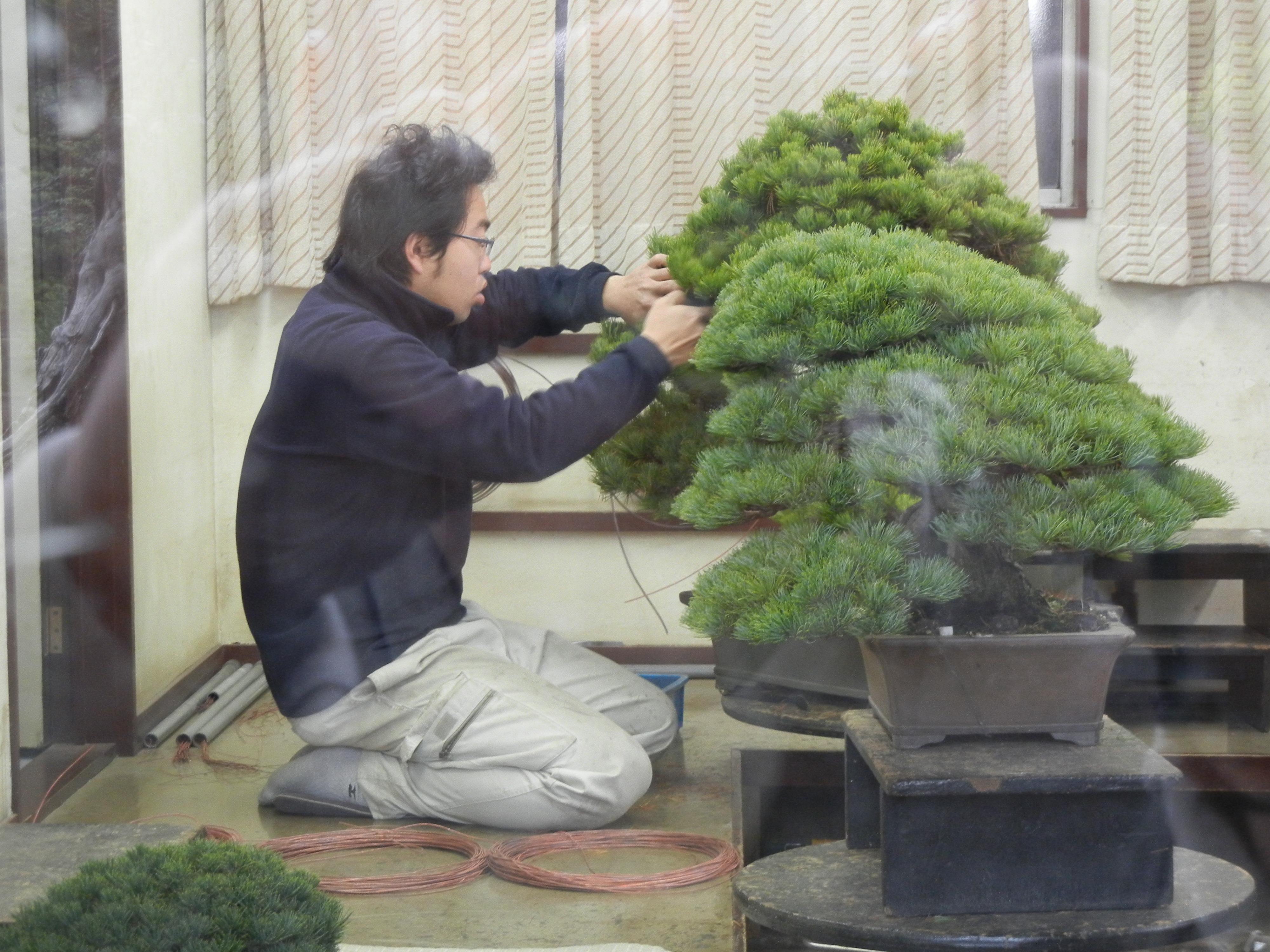 Terrific Wiring Put It On And Leave It A On Bit The Art Of Bonsai Wiring Cloud Staixaidewilluminateatxorg