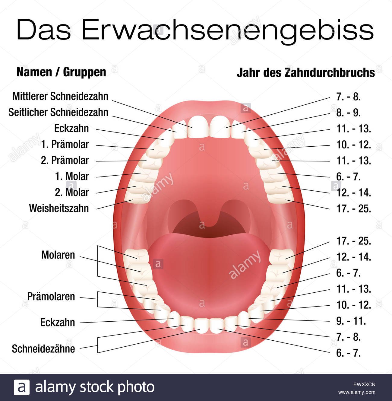 Wondrous Teeth Names And Permanent Teeth Eruption Chart German Labeling Wiring Cloud Onicaalyptbenolwigegmohammedshrineorg