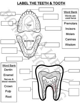 Astonishing Label The Teeth Tooth Worksheet By Lara Life Homeschooling Tpt Wiring Cloud Waroletkolfr09Org