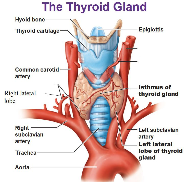 Nf 6283 Blank Thyroid Diagram Free Diagram