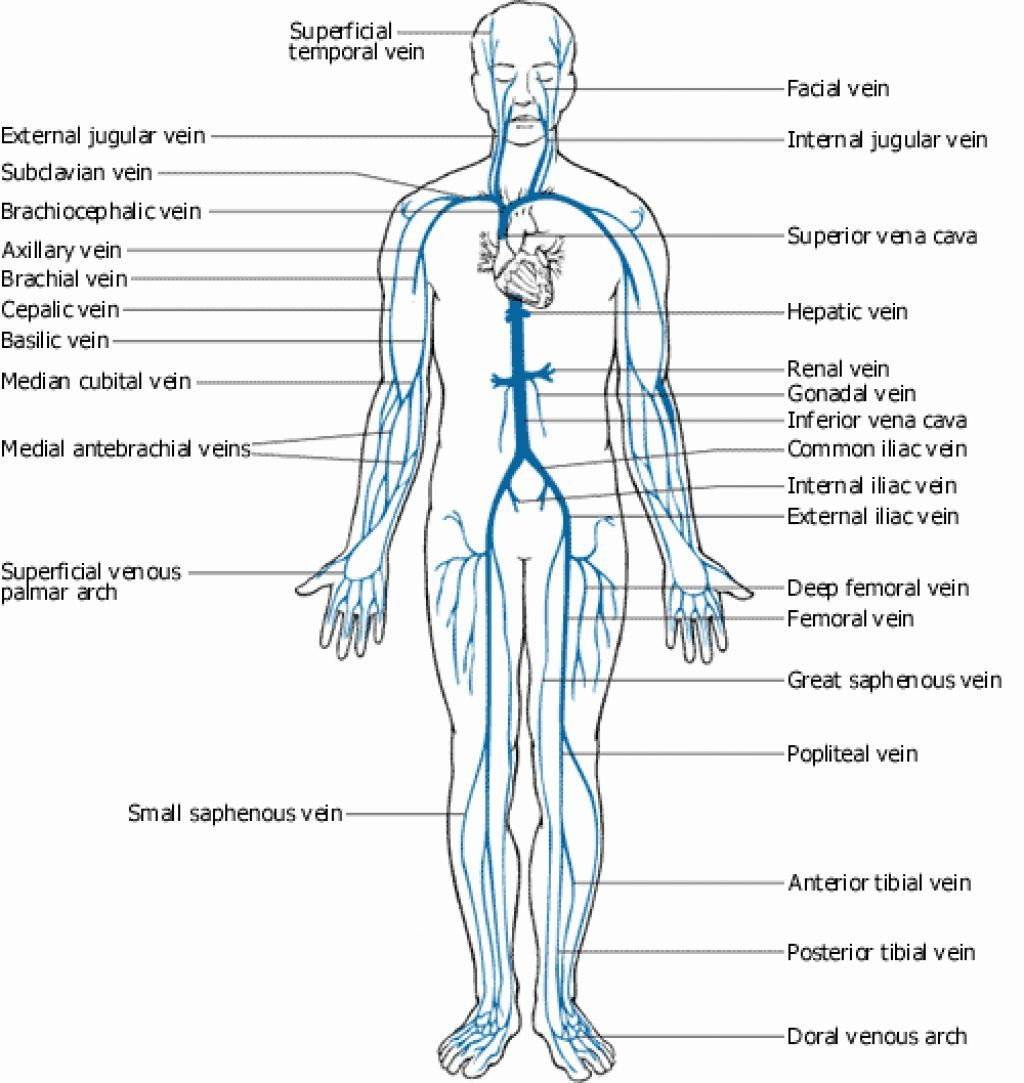 Remarkable Brachial Vein Diagram Wiring Diagram Wiring Cloud Rineaidewilluminateatxorg