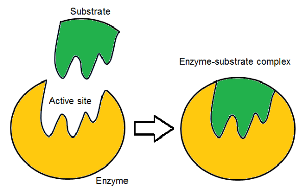 Astonishing Induced Fit Enzyme Model Definition Theory Video Lesson Wiring Cloud Eachirenstrafr09Org