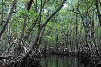 Miraculous Hutan Bakau Hutan Mangrove Definisi Dan Fungsi Alamendahs Blog Wiring Cloud Vieworaidewilluminateatxorg
