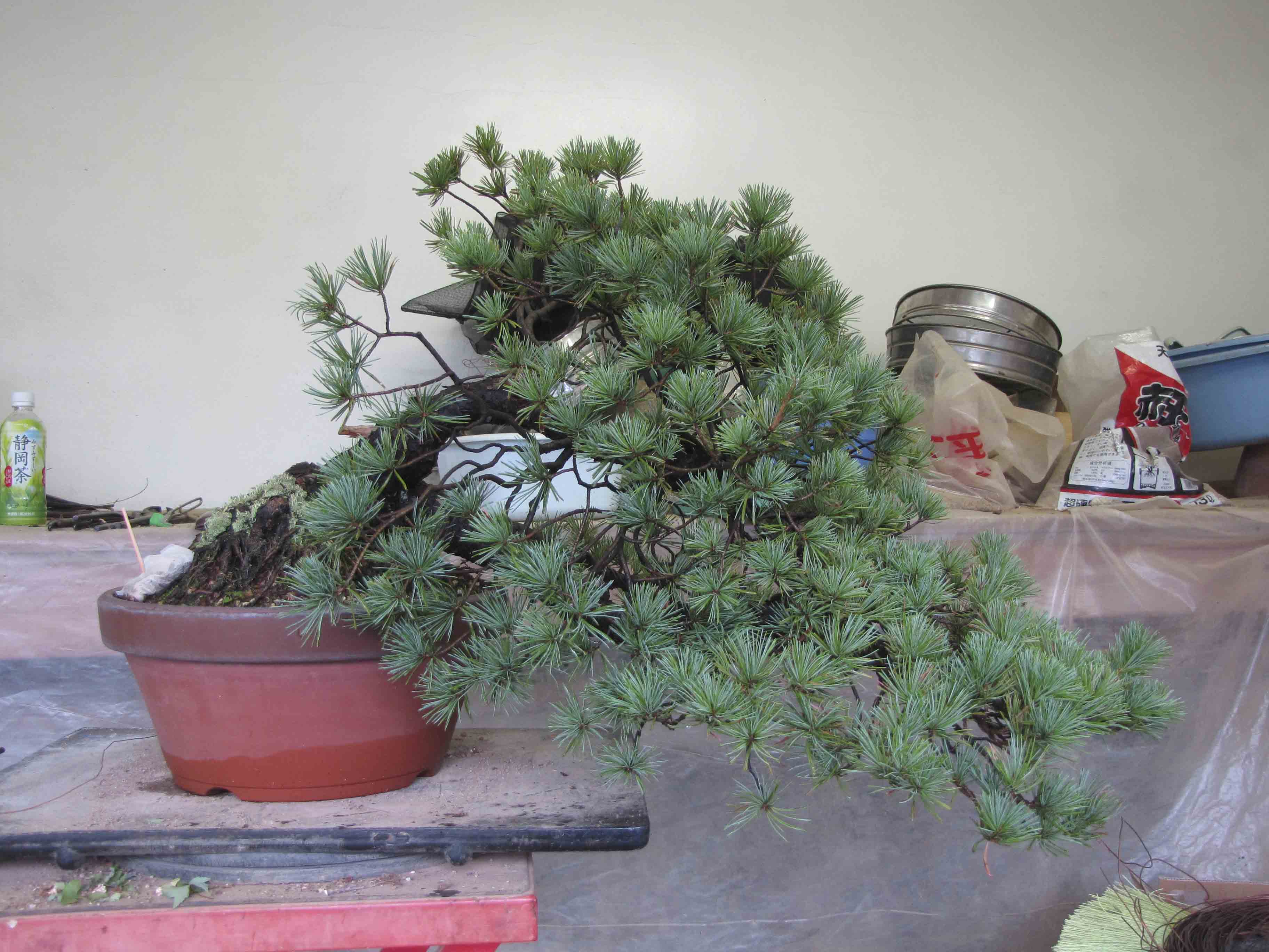 Phenomenal White Pine Wiring Peter Tea Bonsai Wiring Cloud Staixaidewilluminateatxorg